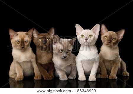 Group of Five Burmese Kittens with Different Fur Colors Sitting on Isolated Black Background, front view