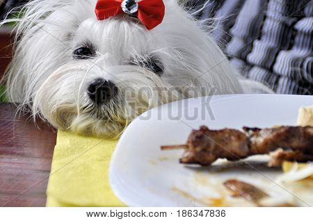 Dog maltese looking at a plate with food
