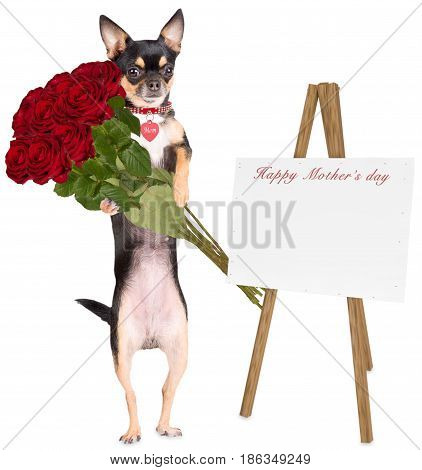 Cute dog chihuahua gives roses to mom for mother day