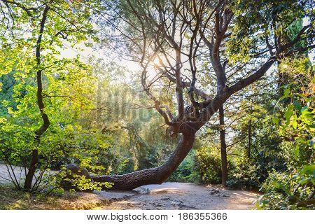 Twisted trunk of an old relict juniper tree. Vorontsov palace park, Alupka, Crimea.
