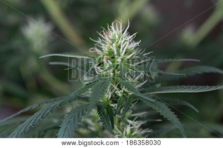 Cannabis Marijuana Female Flowering Pot Early Stage