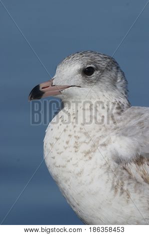 Mew Gull Larus canus portrait on beach with blue water background poster
