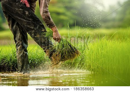 Farmers grow rice in the rainy season. They were soaked with water and mud to be prepared for planting.