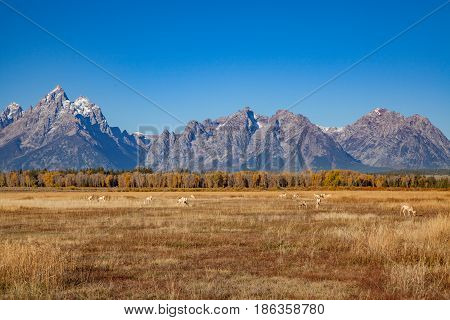 a herd of pronghorn antelope during the fall rut in the Tetons