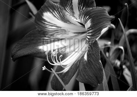 Amaryllis Flower, Monochrome