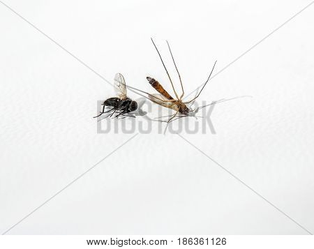 Wildlife study Ugly dried mosquito and fly dead insects small animals with flying wings on white background. Preservation. Specimen or souvenir copy space