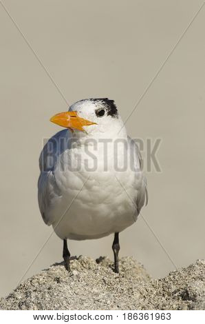 Royal Tern Sterna maxima on tan or brown beach sand and tan backround