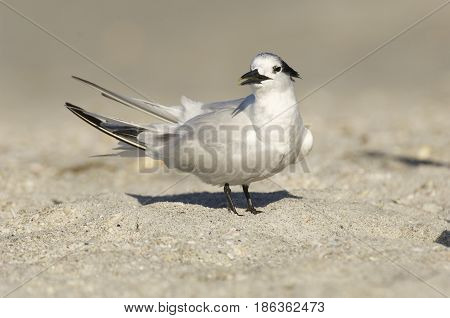 Sandwich Tern Thalasseus sandvicensis on tan sandy beach looking toward viewer