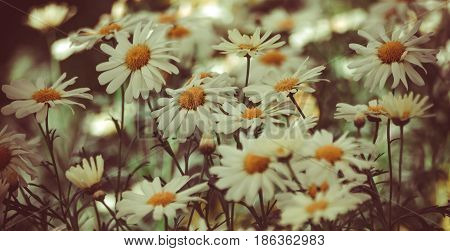 a field with daisies, flowers in the shade, processed, preset, lots of white flowers with a yellow core, calm brown tones prevail, photo for background
