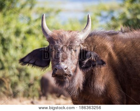 Portrait of young African water buffalo with brown hair and small horns, Chobe NP, Botswana, Africa.