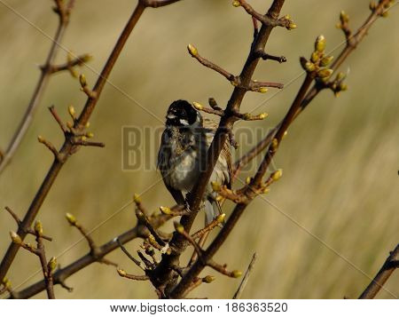 Male reed bunting perched on the branch of a tree