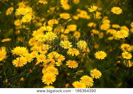 Yellow wild flowers on a lawn in the yard of an inhabited town house