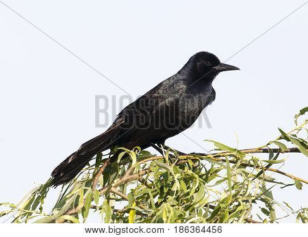 Boat-tailed grackle on mangrove with sky background