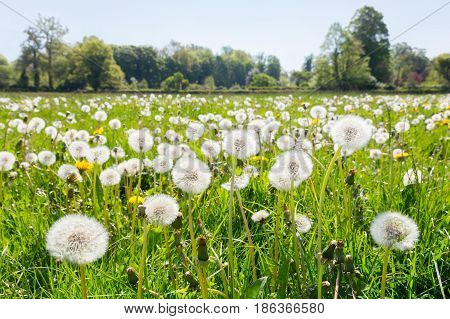 Overblown dandelions in green european meadow during spring season