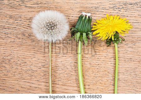 Three dandelions in different phases of flowering on a wooden table