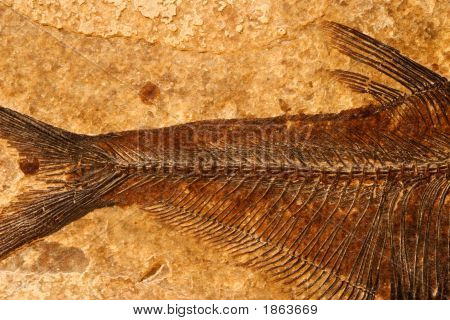 Fossil Fish Detail