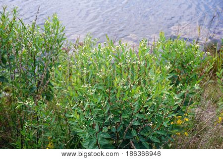 Dogbane (Apocynum cannabinum), also called amy root, hemp dogbane, prairie dogbane, Indian hemp, rheumatism root, or wild cotton, blooms next to a small lake in Joliet, Illinois during August.
