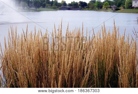 Chinese silver grass (Miscanthus sinensis) grows beside a small, man-made lake in Joliet, Illinois during August.
