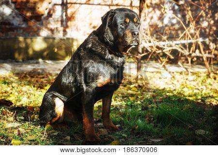 Close up portrrait of sad Rottweiler sitting on ground on sunny day