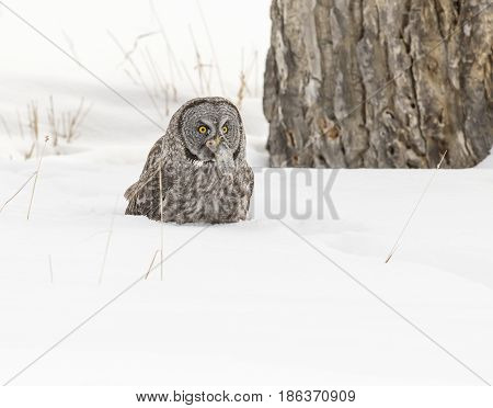 Great Grey Owl On Snow Ground With Vole In Mouth And Cottonwood Tree In Background In Park In Winter