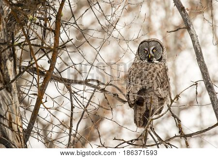 Great Grey Owl In Thick Forest Of Cottonwood Trees In Middle Of Winter