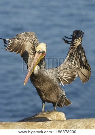 California Brown Pelican, Pelecanus Occidentalis