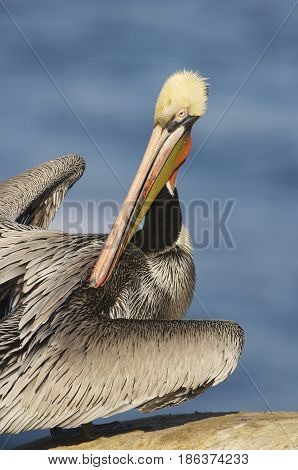California Brown Pelican, Pelecanus Occidentalis