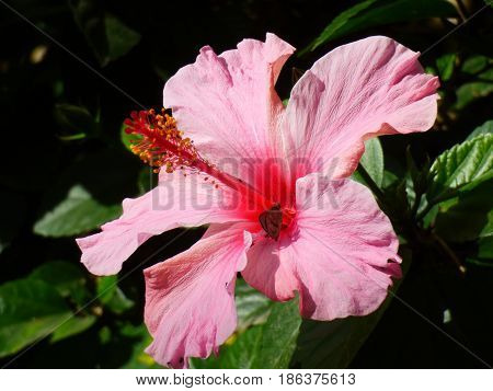 Pink flower, it has five petals. Foreground of a flower. Pinkish flower close up. There is a small butterfly getting its nourishment from it. Roseate flower