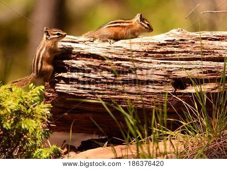 Two striped chipmunks climbing on log with vegetation surrounding