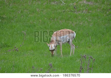 A pronghorn out in the green grass