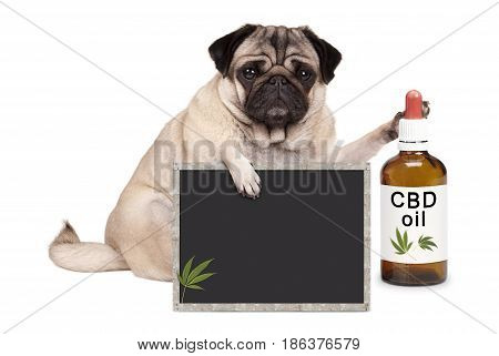 lovely cute pug puppy dog sitting down with bottle of CBD oil and blackboard sign isolated on white background