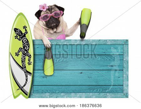 bikini babe pug dog with blue vintage wooden beach sign surfboard and flippers for summer isolated on white background