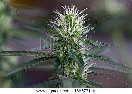 Medical Marijuana Female Cannabis Flower Early Stage