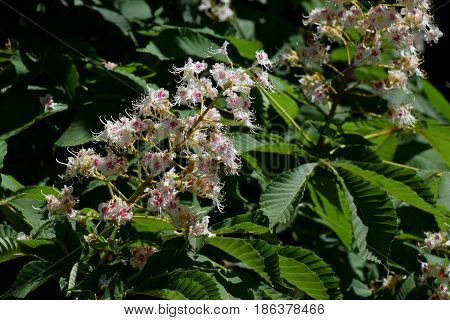 Close view ontreetop of Aesculus hippocastanum and his gentle flowers