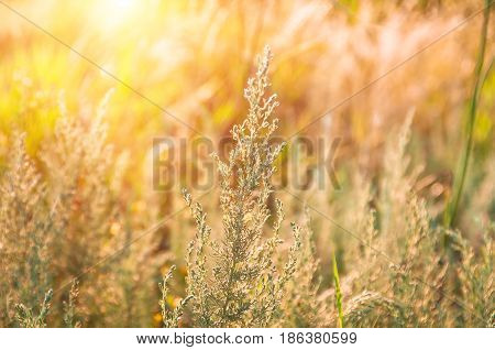Growing wild grass wormwood in the field during the morning warm summer dawn