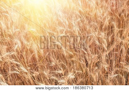 Wheat in the field ears of golden wheat close up agriculture natural background of ripening ears of wheat field harvest concept