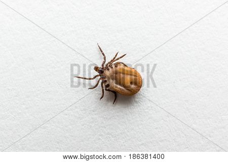 Tick Filled With Blood Crawling On White Paper