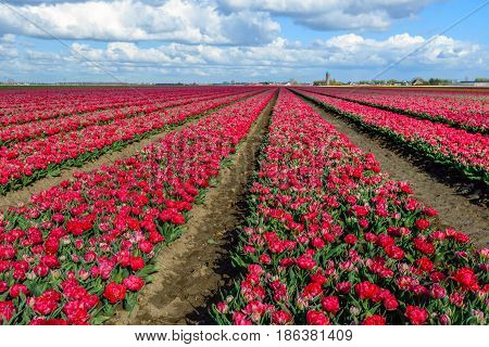 Seeming endless converging flower beds with double headed bright red flowering tulip blooms at the edge of a small village in the Netherlands. It is springtime now.