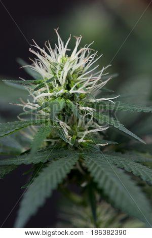 Marijuana cannabis flowering macro close up early stage