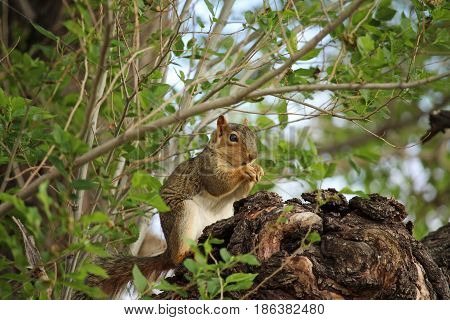 A brown squirrel sits in a tree and gnaws on a nut.