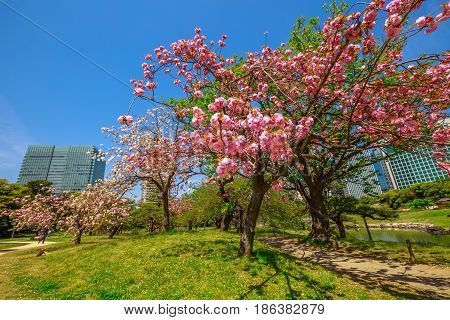 Blossoming cherry tree in Hamarikyu Gardens, Tokyo, Chuo district, Japan. Oriental japanese garden during Hanami. The cherry blossom is considered the national flower of Japan.