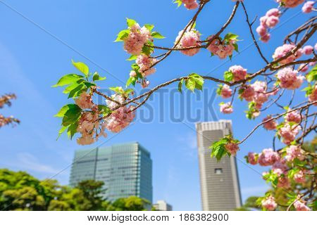 Detail of blossoming cherry tree branch in Hamarikyu Gardens, Tokyo, Chuo district, Japan. Oriental japanese garden. Shiodome buildings on blurred background. Spring concept, Hanami and outdoor life.