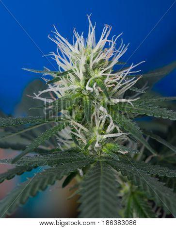 Close up macro of medical marijuana cannabis flower