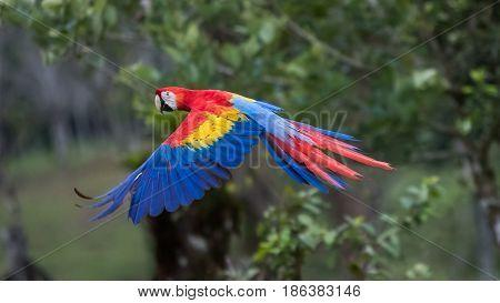 Scarlet Macaw in flight in Costa Rica