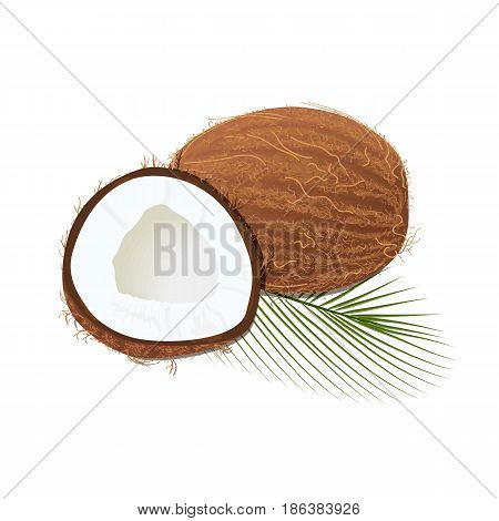 Ripe juicy coconut with leaf isolated on white. Whole, slices. Close up. vector illustration. for cooking, cosmetics, perfume, ointment. Herbal medicine, health care ointments perfumery label tag