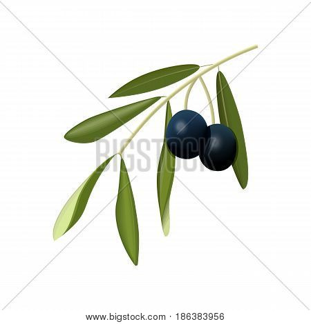 Olive branch with black olives isolated. Side view. Close up. vector illustration. For cosmetics, spa, health care, perfumery, cooking, aromatherapy, Herbal medicine, skin care ointments labels tags