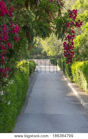 Shady concrete pathway with curb lined with hedges and bougainvillea full of fuchsia blossoms. Path goes through lush garden at Ma'in Hot Springs resort.