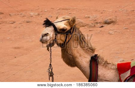 Close up of a camel seated in the sand at the Treasury, Al Khazneh, Petra, Jordan. The Bedouin camels are used to transport tourists and are outfitted with saddles and colorful blankets.