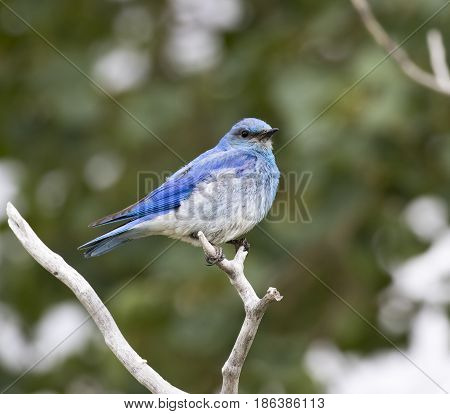 Male Mountain Bluebird Sitting On A Branch With A Green Leaf Background