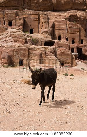 Donkey walking through rocky sand in Petra Jordan with cave with carved facades in background. The donkey is used to transport tourists through the ancient Nabatean city. He is walking toward the camera.